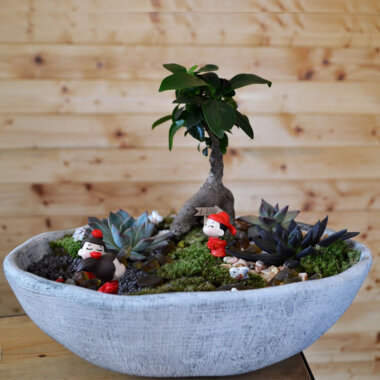 Terrarium Bucuresti - Ficus bonsai